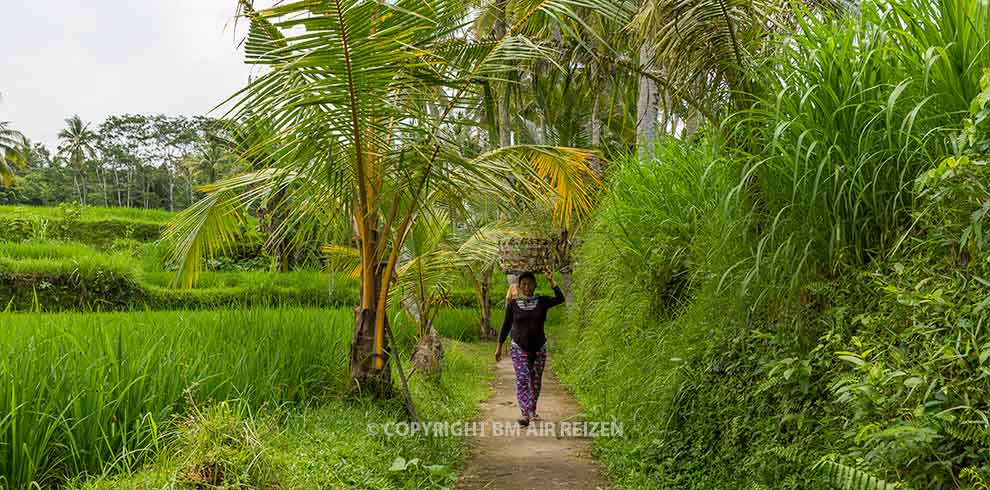 Ubud - rijstvelden