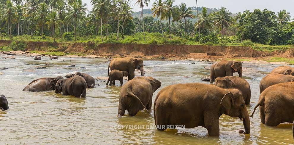Olifanten - Pinnawela