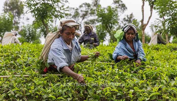 Nuwara Eliya - theeplantage