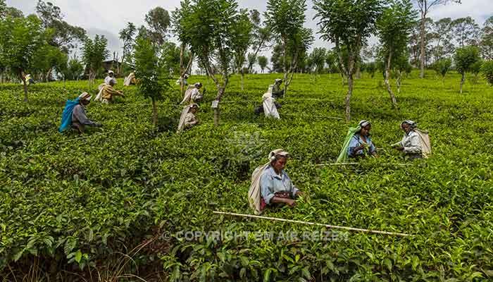 Rondreis Sri Lanka Best Deal - Het met de hand plukken van de thee