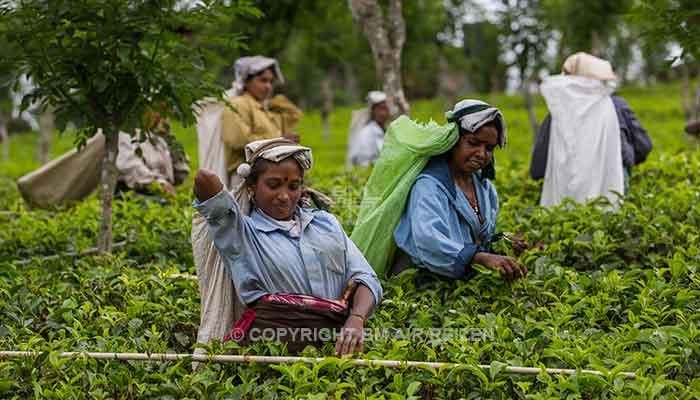 Rondreis Sri Lanka Best Deal - Theepluksters aan het werk