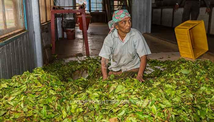 Rondreis Sri Lanka Best Deal - Het verwerken van de theeblaadjes in de theefabriek