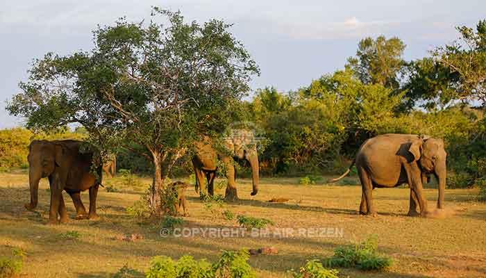 Rondreis Sri Lanka Best Deal - Olifanten in het Yala National Park