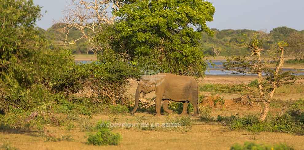Yala Nationaal Park - Olifanten