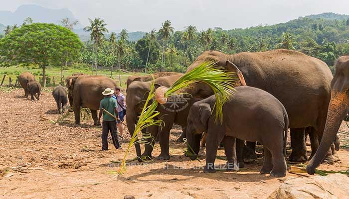 Pinnawela - Olifanten