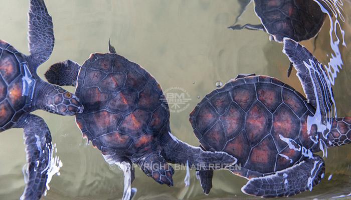 Kosgoda - schildpadden